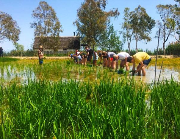 Experience rizière en groupe dans le Delta de l'Ebre