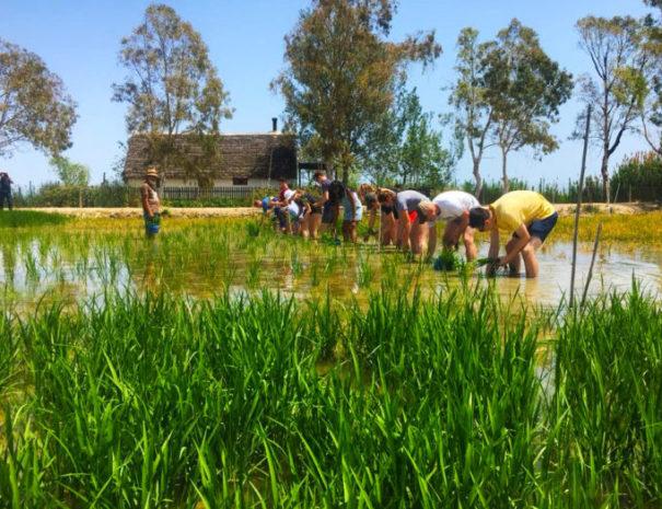Group activity rice experience in Delta del Ebre