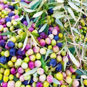 Mallorca olive oil experience