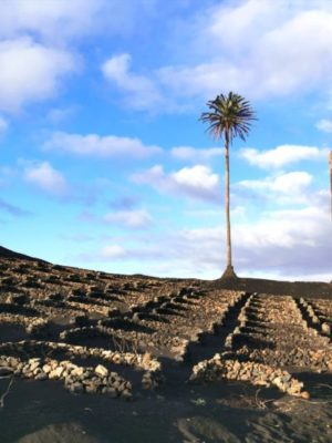 Vineyards in Lanzarote in the Canary Islands