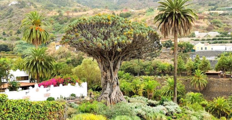 Drago Milenario tree in Icod de los Vinos in Tenerife