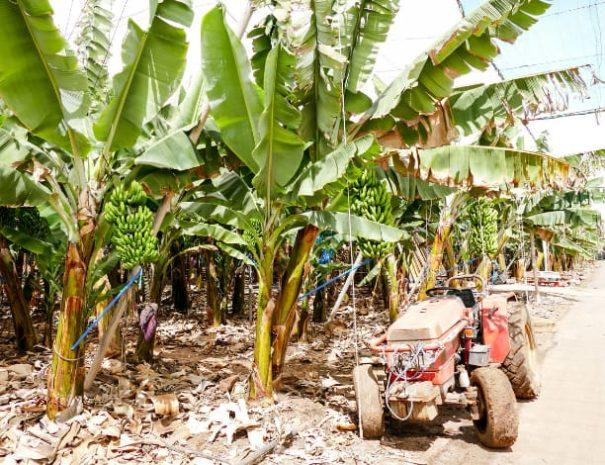 Plantations de bananes Tenerife