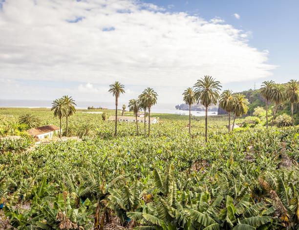 Plantations bananes tenerife