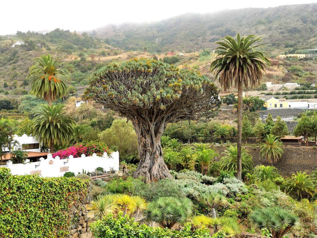Millennium Dragon Tree en Icod de los Vinos, Tenerife