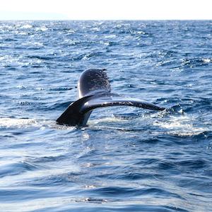 Baleine à Tenerife