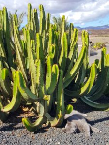 Cactus y gato en Fuertventura
